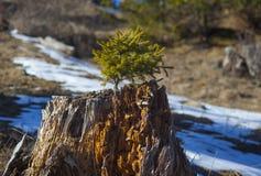 Piccolo pino sviluppato sul ceppo fotografie stock libere da diritti
