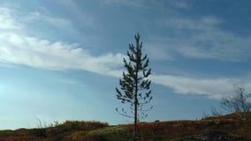 Piccolo pino, tremolante sul vento contro il cielo blu e le nuvole commoventi stock footage
