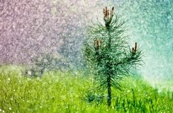 Piccolo pino verde nell'erba sotto la pioggia di estate fotografia stock libera da diritti