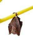 Piccolo pipistrello Fotografia Stock