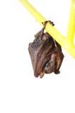Piccolo pipistrello Immagini Stock