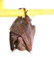 Piccolo pipistrello Immagini Stock Libere da Diritti