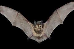 Piccolo pipistrello 9 Fotografia Stock Libera da Diritti