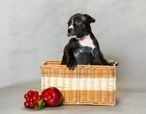 Piccolo pitbull terrier dell'americano del cucciolo Immagini Stock
