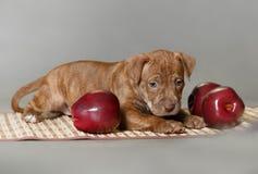 Piccolo pitbull terrier dell'americano del cucciolo Fotografie Stock Libere da Diritti