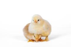 Piccolo pollo 2 del bambino Fotografia Stock