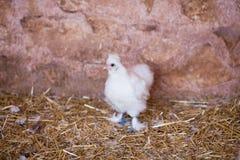 Piccolo pollo Fotografia Stock