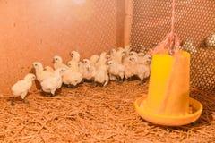 Piccolo pollo in azienda agricola Immagine Stock Libera da Diritti