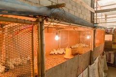 Piccolo pollo in azienda agricola Fotografie Stock Libere da Diritti