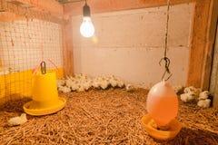 Piccolo pollo in azienda agricola Immagini Stock Libere da Diritti