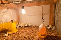 Piccolo pollo in azienda agricola Immagine Stock