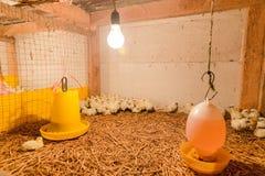 Piccolo pollo in azienda agricola Fotografie Stock