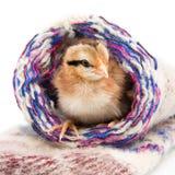 Piccolo pollo che si siede nei calzini di un tricottare Fotografie Stock