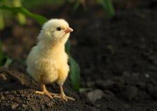 Piccolo pollo concentrato Immagini Stock Libere da Diritti