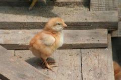 Piccolo pollo del bambino Fotografia Stock