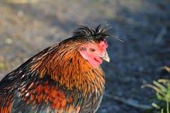 Piccolo pollo divertente Fotografia Stock