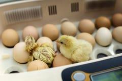 Piccolo pollo giallo neonato in incubatrice Immagini Stock