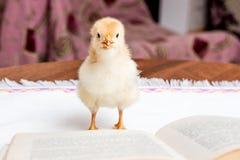 Piccolo pollo giallo vicino ad un libro aperto Reading_ di romanzo fotografie stock libere da diritti