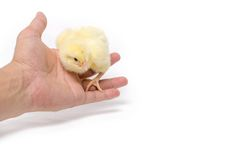 Piccolo pollo isolato su fondo bianco Immagini Stock