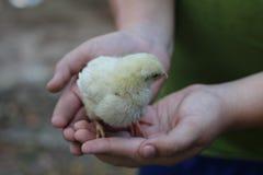 Piccolo pollo nelle mani dell'uomo fotografia stock libera da diritti