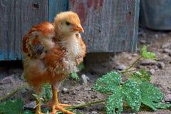Piccolo pollo rosso Immagini Stock