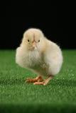 Piccolo pollo sul nero 1 Fotografia Stock Libera da Diritti