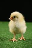 Piccolo pollo sul nero 2 Immagine Stock