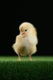 Piccolo pollo sul nero 6 Immagine Stock Libera da Diritti