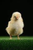 Piccolo pollo sul nero 7 Fotografia Stock Libera da Diritti