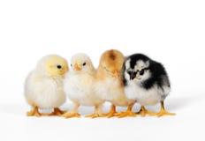 Piccolo pollo sveglio del bambino Fotografia Stock