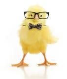 Piccolo pollo sveglio in vetri immagine stock