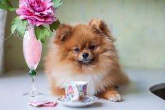 Piccolo Pomeranian che si siede con una tazza e un piattino Fotografia Stock