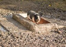 Piccolo porcellino curioso su un'azienda agricola Immagine Stock Libera da Diritti