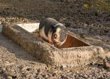 Piccolo porcellino curioso su un'azienda agricola Immagine Stock