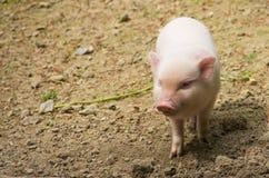 Piccolo porcellino rosa sveglio Immagini Stock