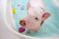 Piccolo porcellino sveglio che galleggia in acqua blu immagine stock libera da diritti