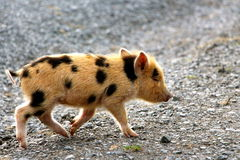 Piccolo porcellino sveglio del bambino facendolo stato in corsa per Immagini Stock