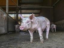 Piccolo porcellino sveglio, sembrante modesto, timido, in una penna di maiale fangosa sporca, porcile immagini stock