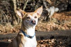 Piccolo Portoghese peloso Podengo del cane che indossa un collare blu Fotografie Stock Libere da Diritti