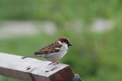 Piccolo primo piano del passero dell'uccello Uccelli ed animali nel selvaggio fotografia stock