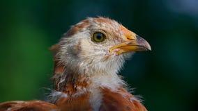 Piccolo primo piano sveglio del pollo (allungamento di 16:9) Immagini Stock