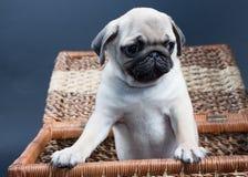 Piccolo pug del cucciolo Fotografie Stock