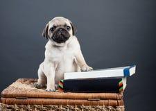 Piccolo pug del cucciolo Fotografie Stock Libere da Diritti