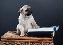 Piccolo pug del cucciolo Fotografia Stock