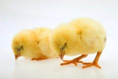 Piccolo pulcino giallo Fotografia Stock