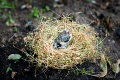 Piccolo pulcino nel nido Fotografie Stock