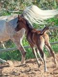 Piccolo puledro arabo corrente con la mamma l'israele Immagine Stock