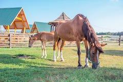 Piccolo puledro del cavallo e sua la madre che si alimentano all'azienda agricola Fotografie Stock Libere da Diritti