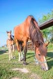 Piccolo puledro del cavallo e sua la madre che si alimentano erba Fotografie Stock