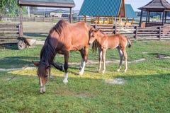 Piccolo puledro del cavallo e sua la madre che si alimentano erba verde Immagini Stock
